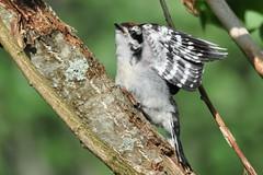 Stretch 1,2,3 (Brittamay) Tags: hairy baby nature woodpecker nikon shots top carousel canvas natures prestige topshots d5000 natureselegantshots