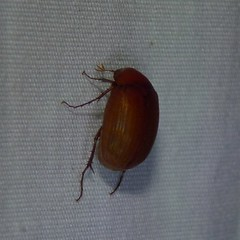 May Beetle / June Bug (Dendroica cerulea) Tags: insect beetle junebug arthropoda invertebrate arthropod coleoptera insecta maybeetle scarabaeidae melolonthinae phyllophaga polyphaga scarabaeoidea melolonthini