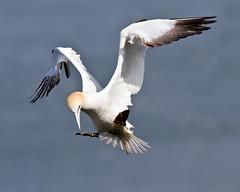 Poser Gannet (Andrew Haynes Wildlife Images) Tags: nature wildlife gannet rspb bemptoncliffs canon7d ajh2008