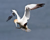 Poser Gannet (Andrew Haynes Wildlife Images) Tags: nature wildlife gannet rspb bemptoncliffs canon7d ajh2008