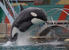 Inouk (Takulover) Tags: france whale whales orca killerwhale antibes marineland orcas killerwhales orque killerwal orques inouk marinelandantibes marinelandfrance