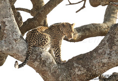 Leopard of Central Serengeti (tkfranzen) Tags: bigfivegame bigfive leopard kipling serengeti centralserengeti pantherapardus wildlife wildlifephotography tanzania summer2016 animalplanet tnclivenature