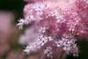 friday's flower power (Sabinche) Tags: blossom flower pink outdoor ffp fridaysflowerpower pastel canoneos5dmarkiii sabinche infinestyle