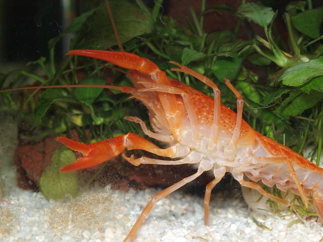 P3235015 橘螯蝦