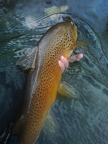 22-inch San Juan brown