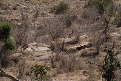 20110108-_MG_6914 (Ken Zaremba) Tags: africa antelope geography kenya klipspringer laikipiaplateau oreotragusoreotragus animal bovid bovidae clovenhoofed mammals ruminantmammals