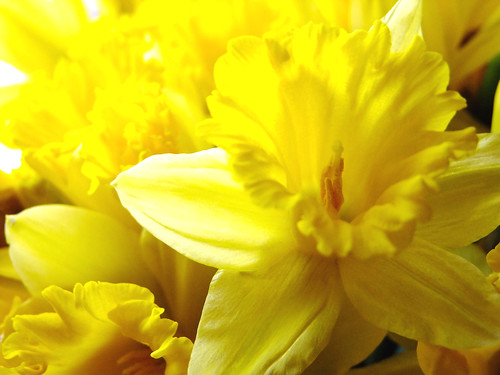 Daffodils are blooming in my kitchen