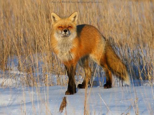 遠くを見つめる狐