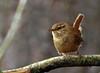 Wren (Mr Grimesdale) Tags: wren britishbirds stevewallace mrgrimesdale