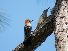 Female and male Red-bellied woodpeckers (Wibada) Tags: nature birds woodpecker breeding mating woodpeckers redbellied wildbirds palmcity allapatah redbelliedwooodpeckers allapattahflatswildlifemanagementarea