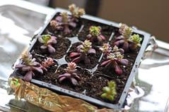 Succulent Cuttings. (+Jethro+) Tags: plant garden succulent cutting clone stonecrop sedumspathulifolium 2011 purpureum