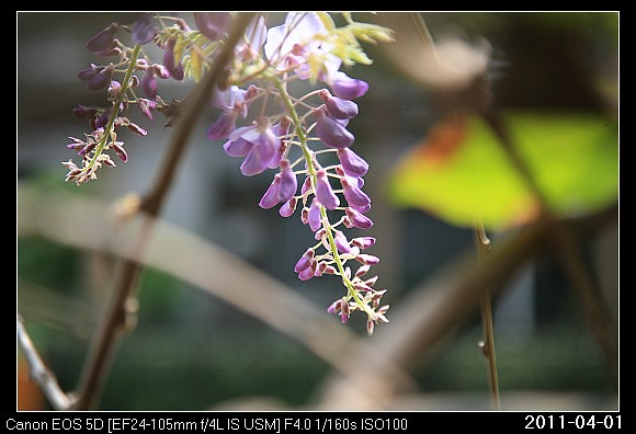 20110401F5紫藤