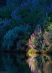Hummingbird's Paradise (Wildphotography - Barry Rowan) Tags: california nature santabarbara landscape spring southerncalifornia ucsb santabarbaracounty echium flowersplants