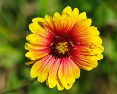 Firewheel/Indian Blanket (Gaillardia pulchella)
