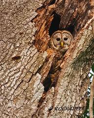 Barred Owl (ROCKADEE_Two With Eagles 1951 / Rockey & Dee) Tags: tree orlando florida wildlife den raptor owl birdofprey barred rockey naturerules rockadee birdinginthewild