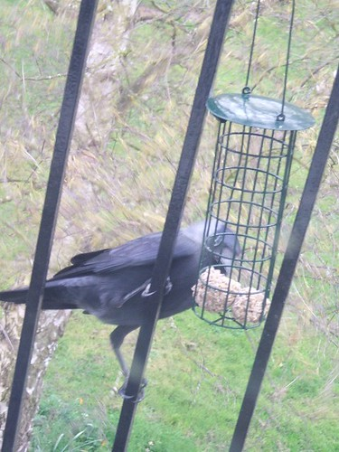 Jackdaw on birdfeeder