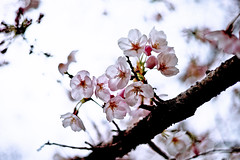 Where Sakura bloom so does hope (moaan) Tags: life leica digital 50mm dof cloudy blossom bokeh dr summicron utata  cherryblossom sakura blossoming cherrytree m9  f20 2011 hazysky inlife leicasummicron50mmf20dr comeintoblossom leicam9  gettyimagessakura gettyimagesjapanq2