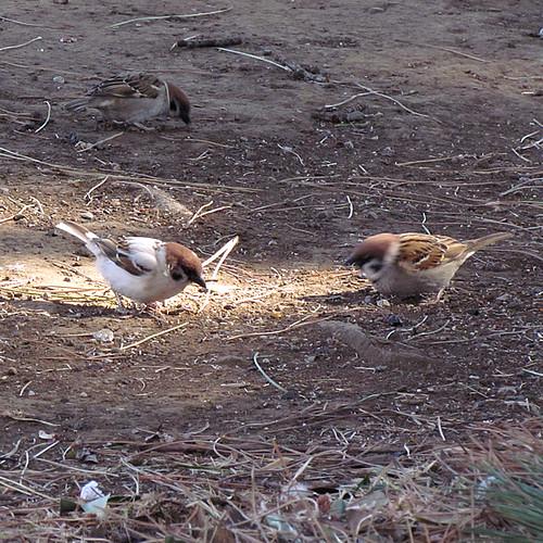2011-4-6albino-Sparrow-1