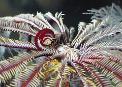 Crinoid centre (series) (gillybooze (David)) Tags: macro underwater malaysia southchinasea featherstar crinoid 60mmmacrolens sunkentreasureaward absolutelyperrrfect madaleundewaterimages