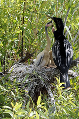 Anhinga Nest (cssna) Tags: park male nikon nest florida trail national everglades chicks homestead fl np nikkor 28300mm anhinga protecting d700 cssna