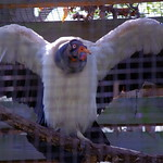 King Vulture showing off thumbnail