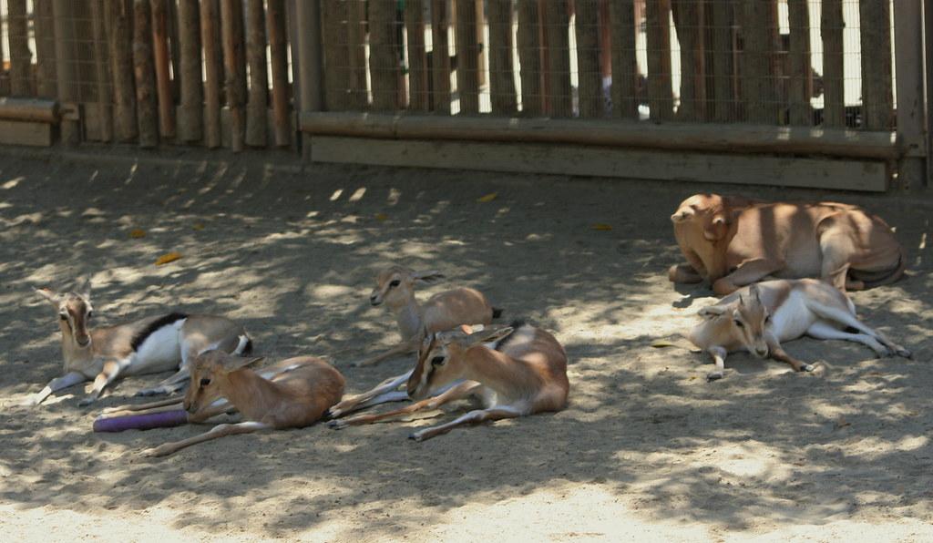 Gazelle Babies