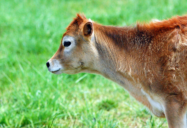 DSC_4180jerseycalf