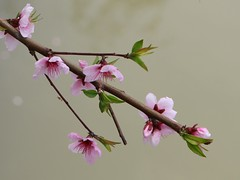 Peach Flower_Pink_2 (Phyllis Photographie) Tags: flowers nature spring shanghai peachflower