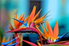 Color's cocktail (pedrosimoes7) Tags: flowers portugal colors spring flora waterdrop sesimbra thecontinuum virgilio~gf