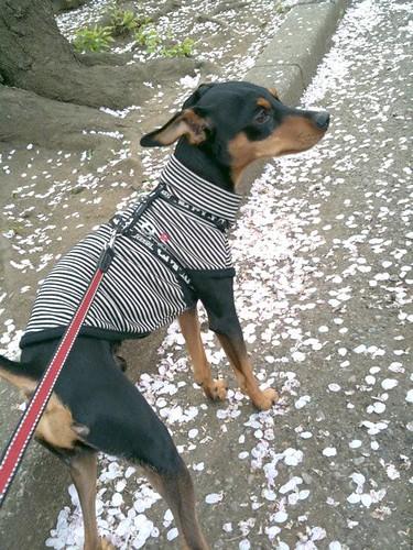 散歩なう。さくらの花びらじゅうたんを歩きます。