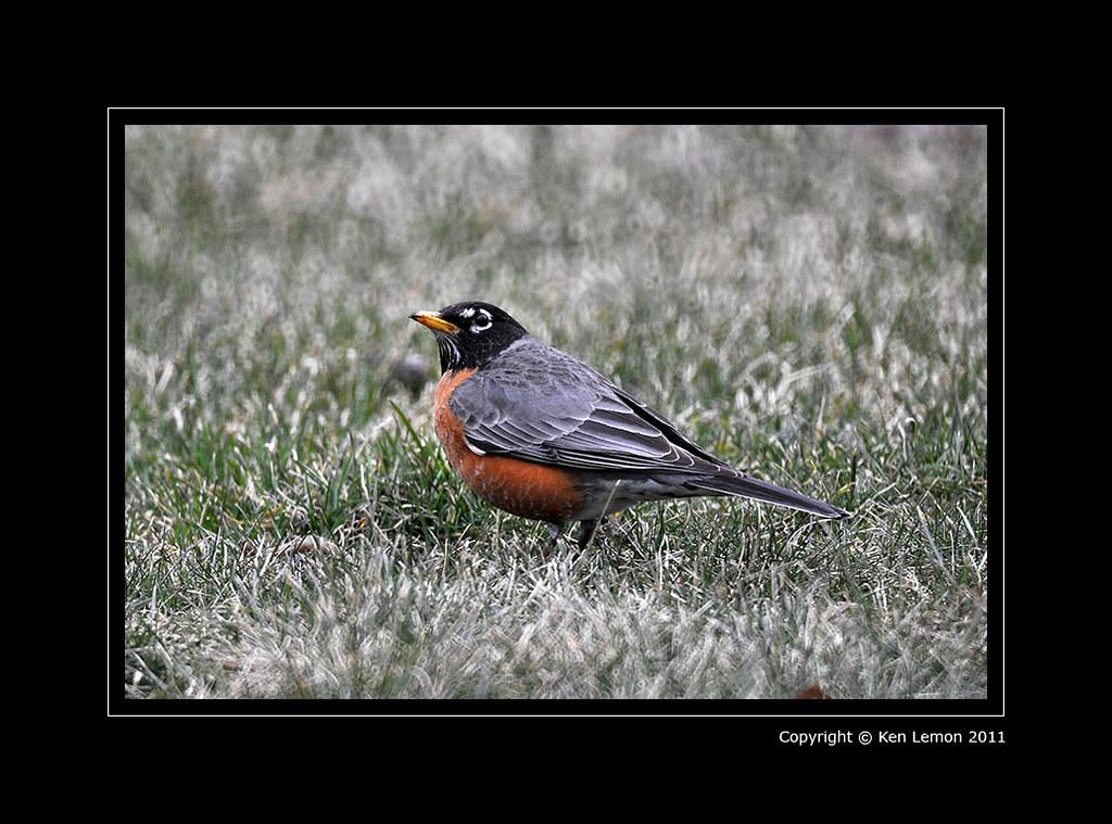 Robin (Mirror Lens)