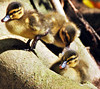 Ducklings :) (Annie is back) Tags: tag3 taggedout tag2 tag1 ducklings sappy sandiegozoo oneofthosemoments tag3again