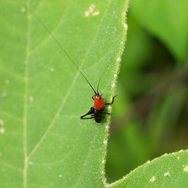 黑翅細蟴若蟲