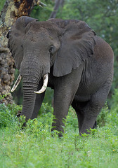 Ngorogoro Elephants