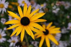 Yellow Flower with bokeh (Wilamoyo) Tags: flower macro up yellow petals close bright bokeh botanicals