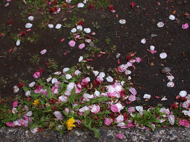 Scattered Cherry Blossom