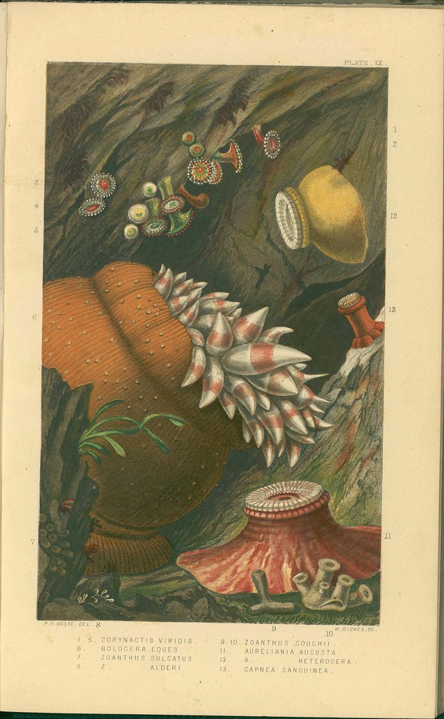 19th century chromolithographs of sea anemones