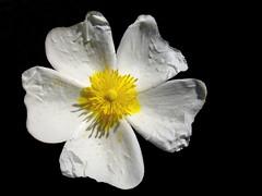 Cistus salviifolius (III) (.Bambo.) Tags: wild white plant flower planta blanco bush flor plantae silvestre cistus cistaceae arbusto elsaler cistussalviifolius devesaelsaler parcnaturaldelaalbufera