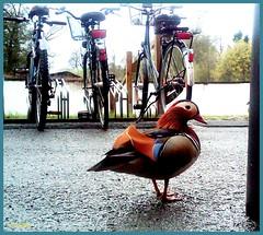Besuch auf der Arbeit       (IMG00046-20110414-0935 V) (m_trollhus) Tags: berlin animal mandarinduck visitor ente arbeit tier besucher mandarinente