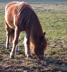 Pferdchen im Winter  - 002 (roba66) Tags: horse animal animals caballo tiere creature pferd trabalho tier galope chaval roba66 roa66