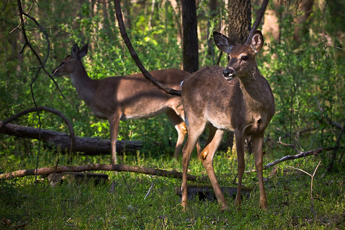 110407 Deer