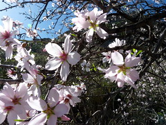Gran Canaria - Almond Tree and Its Beautiful Blossom
