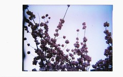 Cherry Blossoms (Teeny Blondini) Tags: colour polaroid cherryblossoms dianaf sooc instantback dianainstantback teenyblondini