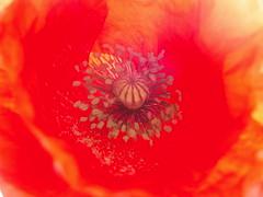 Suzko petaloak (Manu Barcena) Tags: flower poppy coquelicot lorea amapola mitxoleta