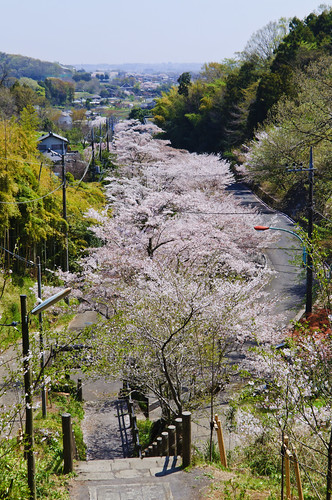 Cherry blossoms in mountain village