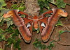 Atlas Moth (Jeanie's Pics) Tags: nature wings moth atlasmoth magicwingsbutterflyconservatory southdeerfieldma largestmothintheworld