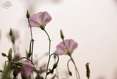 [10/9] (عفاف المعيوف) Tags: flower وردة ورود زهرة وردي زهور