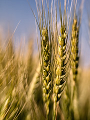 Staff of LIfe (Anne Worner) Tags: blur closeup lensbaby bokeh wheat grain composer wefi sweet35