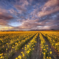 Sea of Gold (Js) Tags: flowers field spring daffodil wa washingtonstate hdr mountvernon tulipfestival mtvernon verticalpanorama skagitcounty nikond90