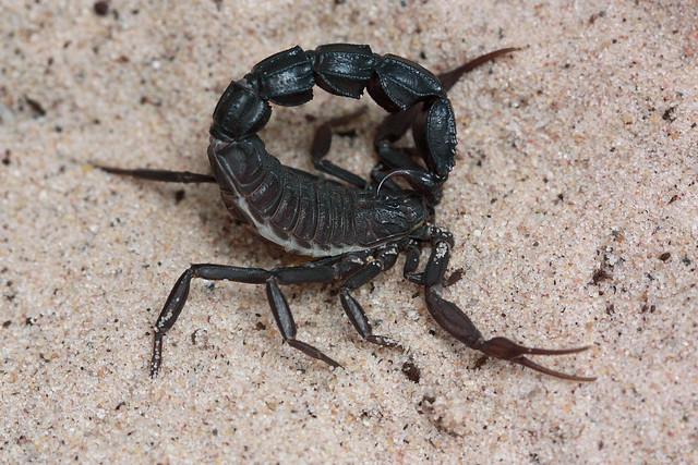 Androctonus bicolor (Israel) mature male